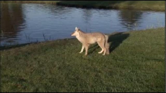 3D-Coyotes1.jpg_22395670