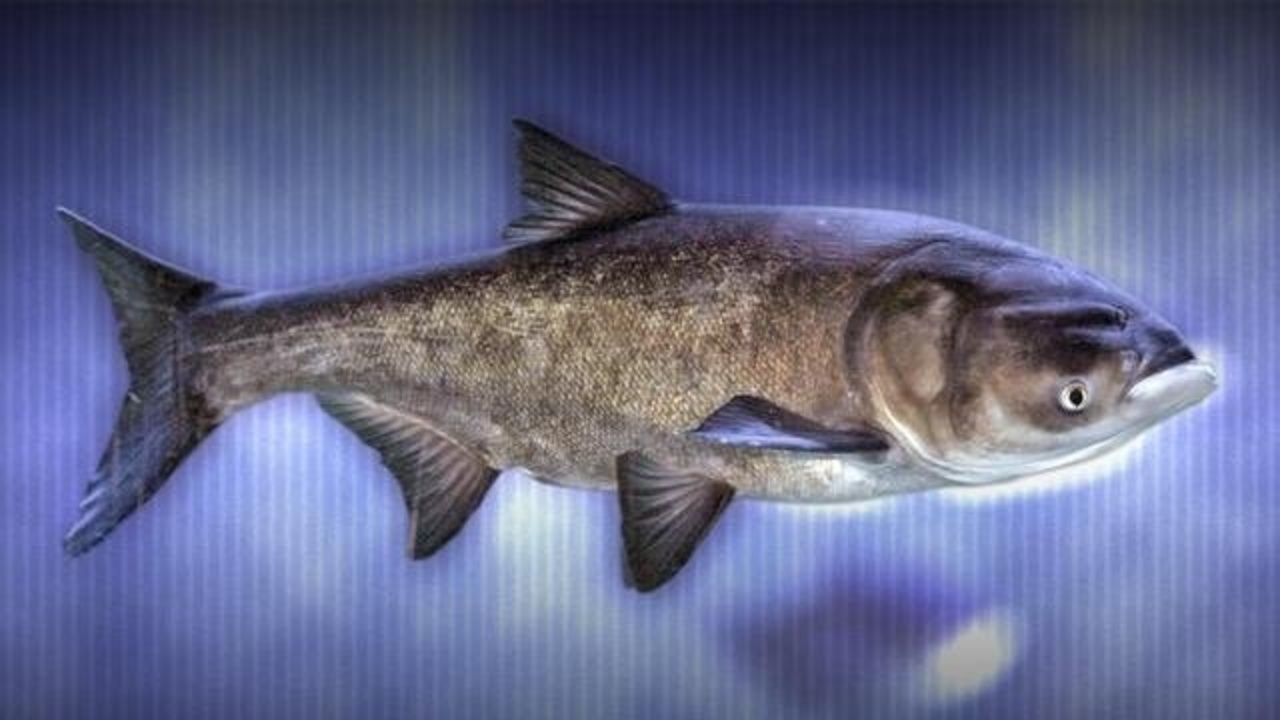asian carp is not a carp