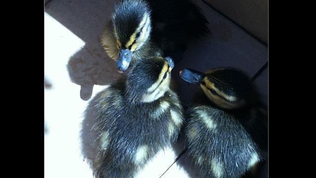 Baby-ducks-saved-Novi-1_20404036