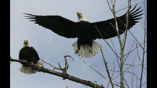 Bald Eagles_19957750