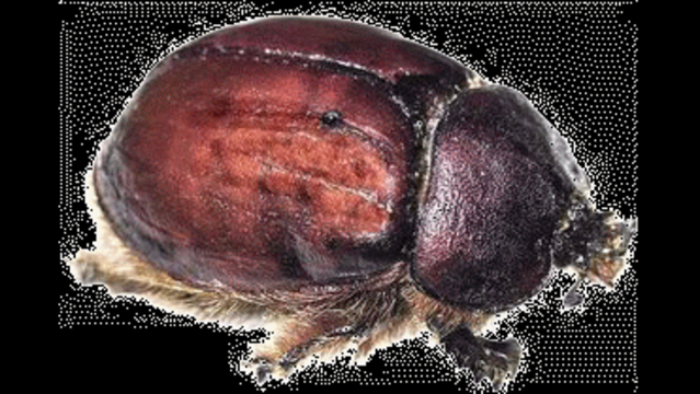Cochineal-insect.png_9717658