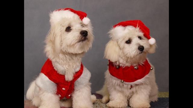 Christmas dogs_17865972