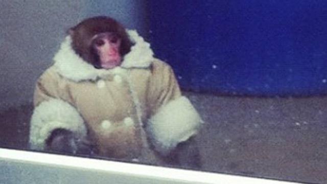 Monkey-In-Ikea.jpg_17718536