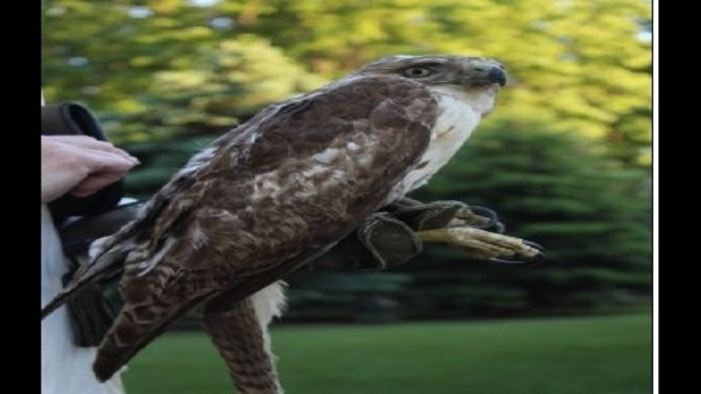 Resized-image-of-hawk.jpg_20490172