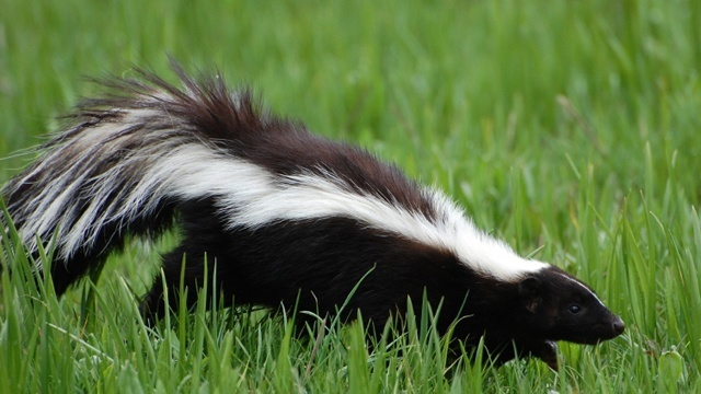 Health officials confirm case of rabies in dead skunk found in Southfield