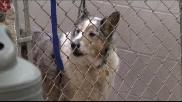 rescued collie in cage_18310458