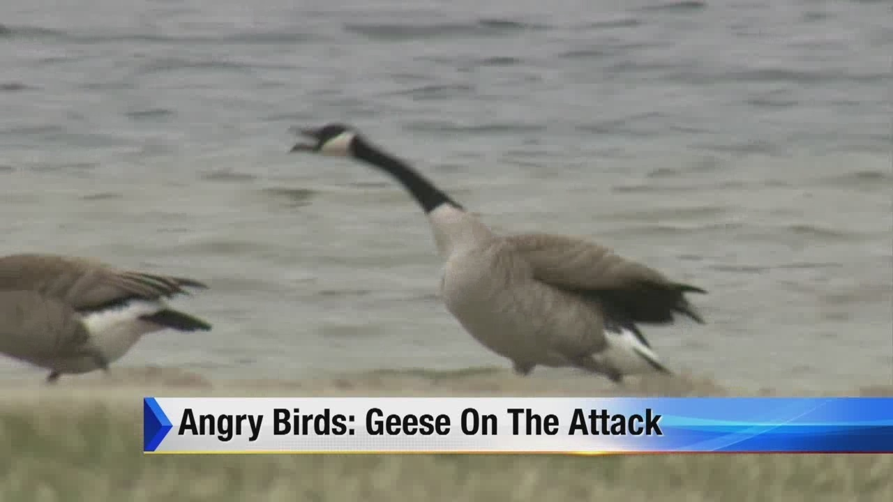 Monroe Truck Equipment >> Angry birds: Geese on the attack