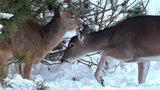 Analysis confirms chronic wasting disease in Michigan deer