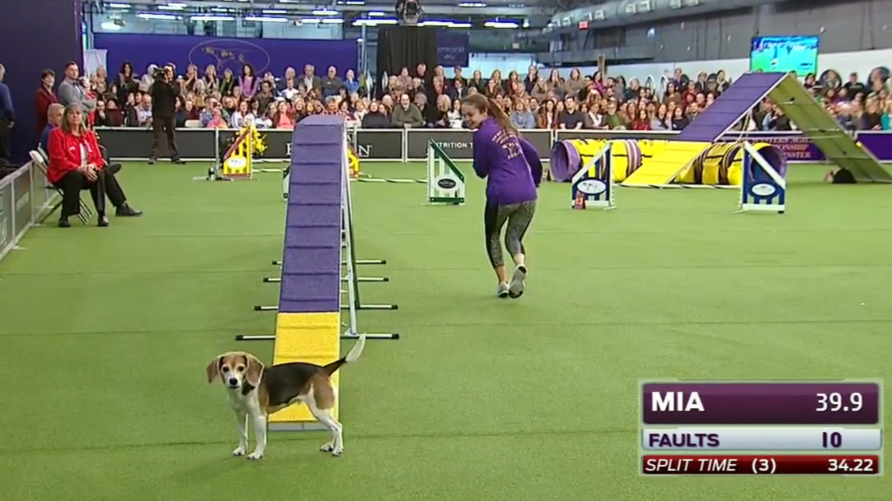 Distracted Beagle Westminster Dog Show