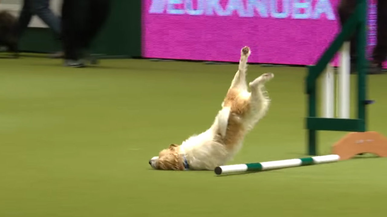Video Dog Fails Face Plants During Agility Course At