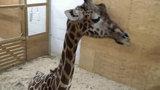 April the Giraffe: Watch giraffe cam live, latest updates, stream