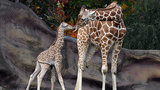Meet the giraffes born at the Detroit Zoo