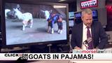 Jason Carr Live: Goats in pajamas, drone flies into hole, Japan's potato&hellip&#x3b;
