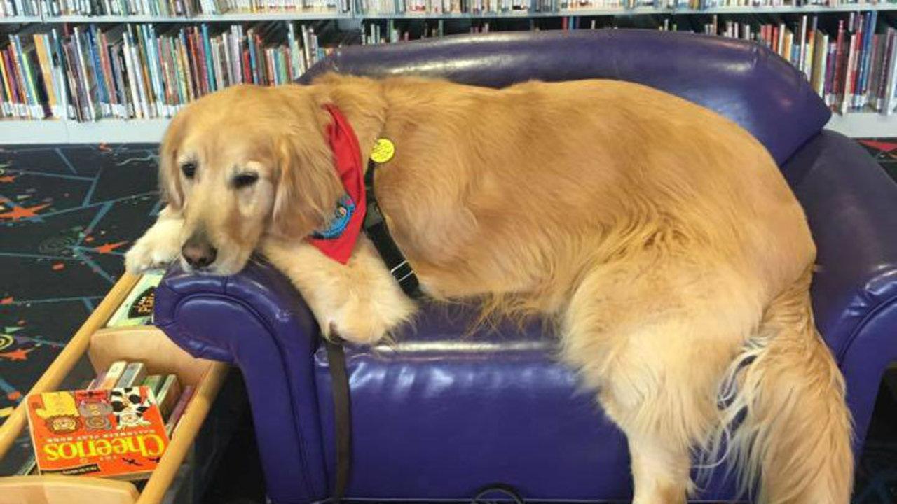 Adopt Therapy Dog Michigan