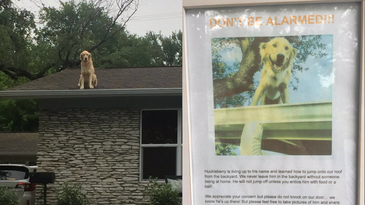 Texas Golden Retriever Loves Hanging Out On Roof Of House