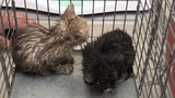 WATCH: Michigan Humane Society rescues kittens from drain pipe