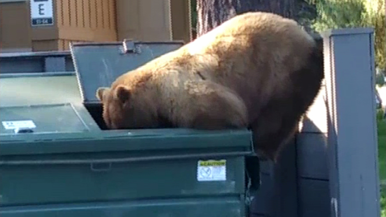 Image result for bears getting into dumpsters
