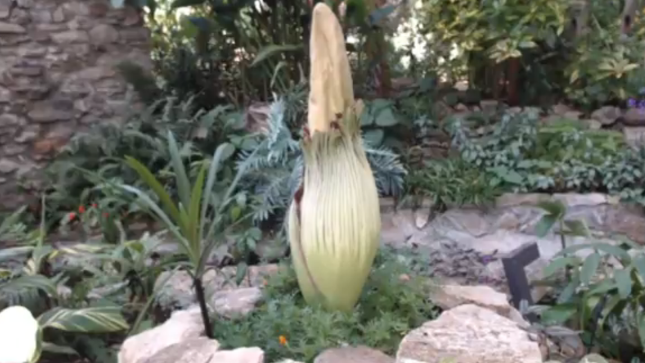 Corpse Flower Expected To Bloom At Greater Des Moines