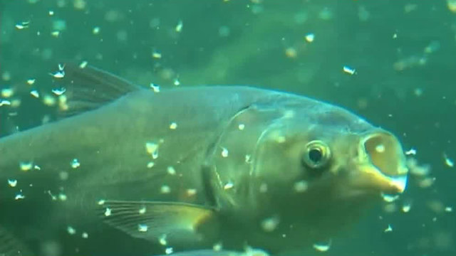 $778 million plan to prevent Asian carp from invading Great Lakes moves forward