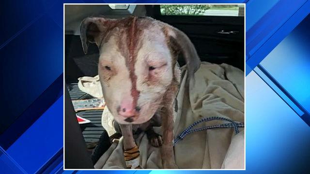 Amari pitbull puppy mutilated Kimball Township