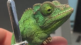 Michigan chameleon turns into feisty warrior with addition of miniature sword