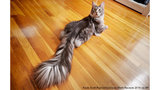 Michigan cat takes Guinness World Record for longest tail