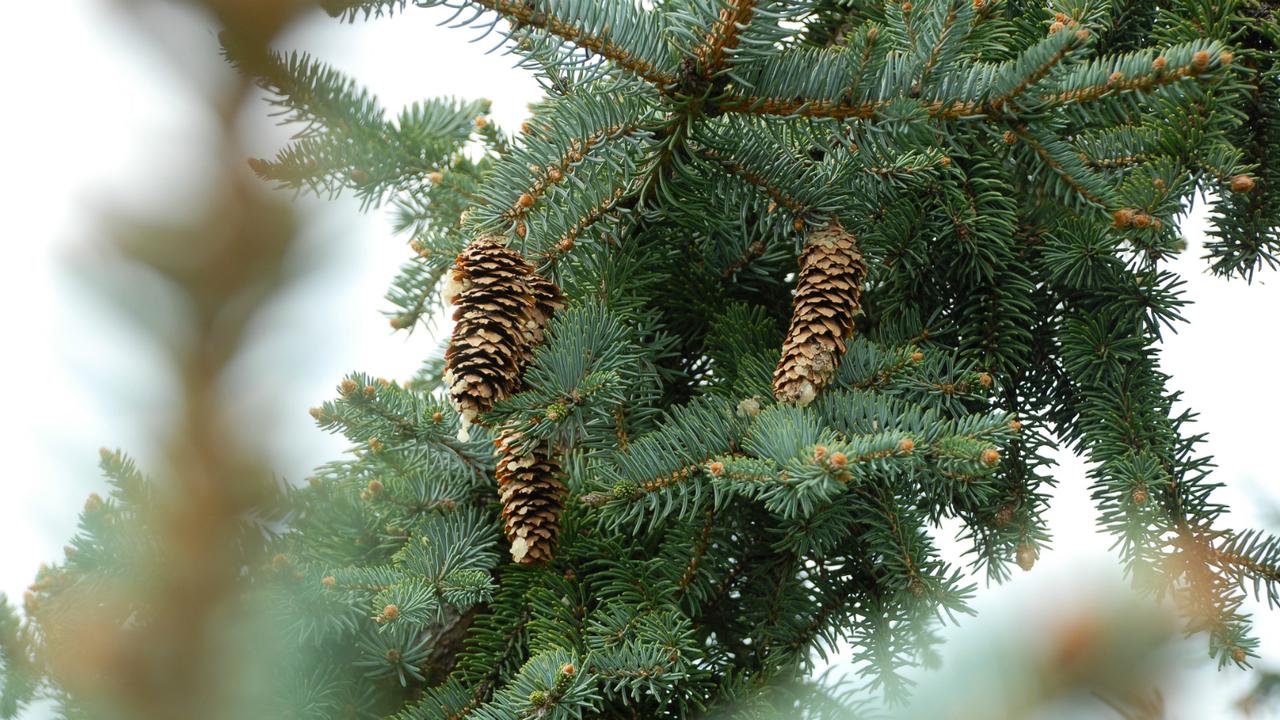 Livonia announces Christmas tree trash pickup days