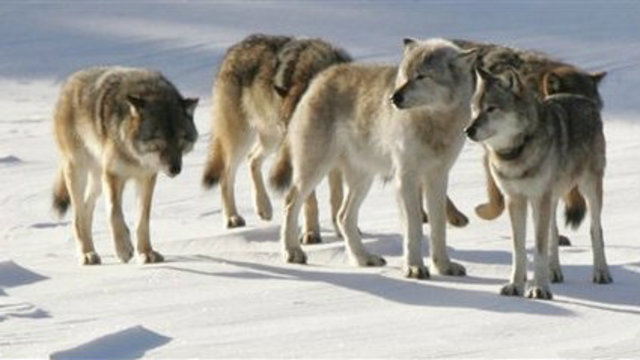 3 wolves moved to Michigan's Isle Royale, helping rebuild population