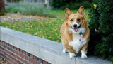 Meet Reggie: The corgi some U-M students want to elect student&hellip&#x3b;