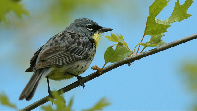 Once nearly extinct, Michigan songbird coming off endangered list
