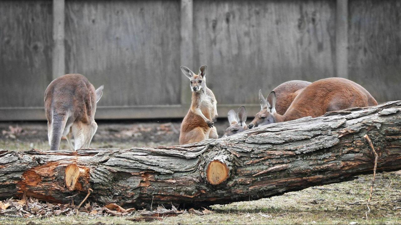 Michigan Zoo Gets New Baby Kangaroo