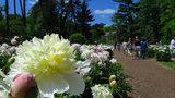 Peonies in bloom at University of Michigan's Nichols Arboretum