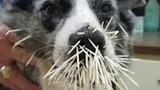Dogs attacked by porcupine in Texas