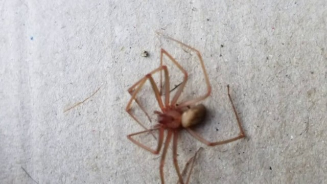 Video Thumbnail For Brown Recluse Spider Spotted In Michigan