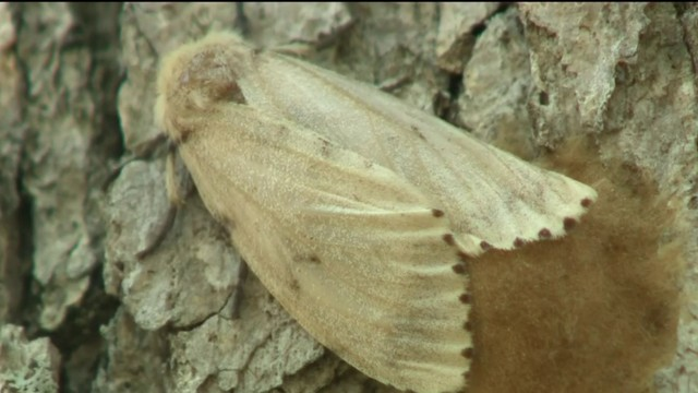 Invasive gypsy moth numbers are rising in Southern Michigan
