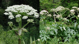 Worse than poison ivy: How to identify, report dangerous hogweed plant&hellip&#x3b;