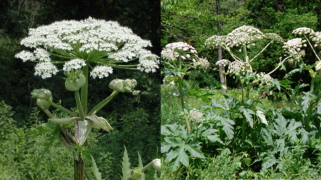 Worse than poison ivy: How to identify, report dangerous hogweed plant…