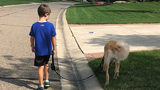 Dog training blog week 3: Trying to teach a big dog how to walk without&hellip&#x3b;