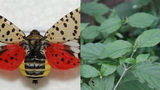 2 invasive species identified as new threats to Michigan
