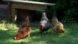 Clawson officials consider forcing family to give up pet chickens
