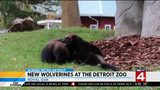 Detroit Zoo welcomes new wolverines