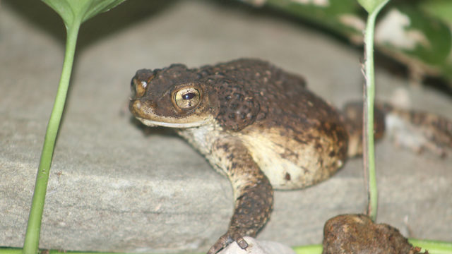 Detroit Zoological Society jumps in to save critically endangered toad