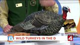 Here's why wild turkeys are making a comeback in the D