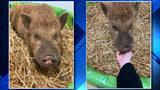 Detroit Dog Rescue, Detroit Animal Control rescue razorback pig from&hellip&#x3b;