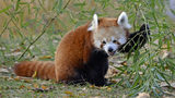 Detroit Zoo to open newly expanded red panda forest next week