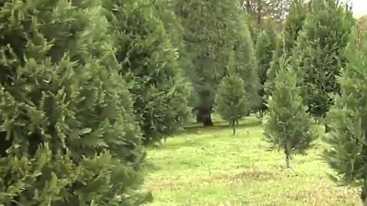 Mold spores on Christmas trees can cause holiday allergies,...