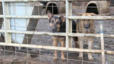 More than 150 German shepherds rescued from deplorable conditions in Georgia