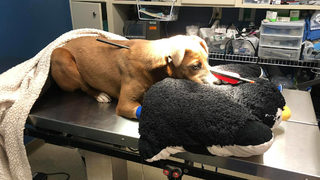 Puppy survives being shot in head with arrow