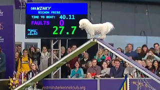 WATCH: Adorable, distracted dog takes its time on the Westminster agility course