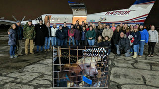 100 Chihuahuas flown from overcrowded California shelters to Michigan